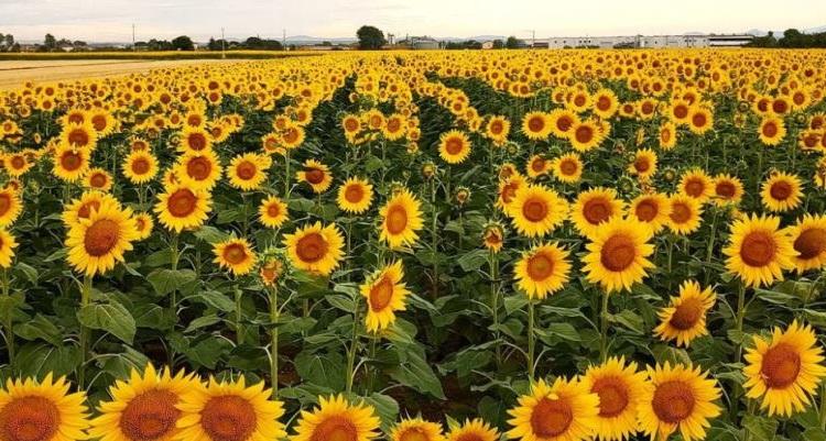 Cortona, zonnebloemenvelden in het Toscaanse dal